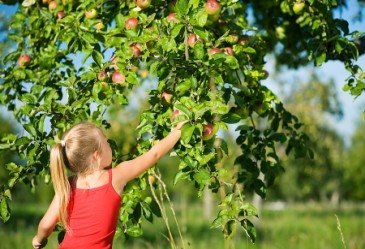 kid is picking an apple from the tree